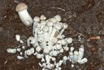 Honey mushroom buttons