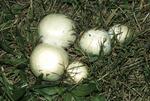 Meadow mushroom buttons