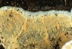 Radiating phlebia mushroom