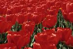 Garden bed of red tulips