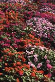 Garden bed of impatiens