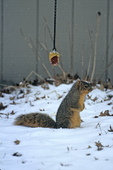 Eastern fox squirrel at corn feeder