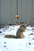 Eastern fox squirrel at corn feeder