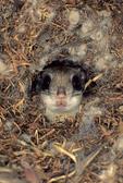Flying squirrel in nest