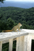 Red squirrel on porch railing