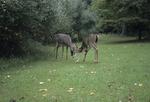 White-tailed deer bucks with locked antlers