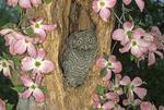 Two-week-old eastern screech-owl in tree cavity