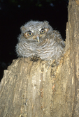 Two-week-old eastern screech-owl on stump