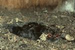 Dead mole in eastern screech-owl nest box