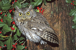 Eastern screech-owl with holly berries