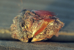 Eastern screech-owl pellet with cardinal remains