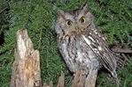 Eastern screech-owl with hemlock tree