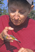 Lady removing magnolia warbler from mist net