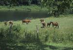 Horses grazing near farm pond
