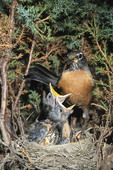 American robin at nest with babies