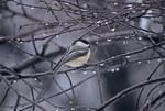 Black-capped chickadee in rain