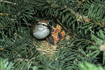 Chipping sparrow at nest feeding babies