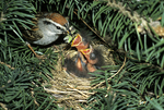 Chipping sparrow feeding leafhopper to babies