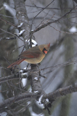 Female northern cardinal on branch