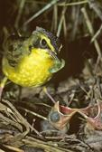 Kentucky warbler at nest feeding caterpillar to baby