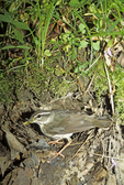 Louisiana waterthrush at nest with food for babies