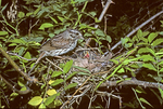 Song sparrow at nest feeding babies