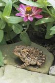 American toad in flower garden