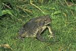 American toad sitting in moss