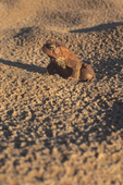 American toad in sand