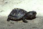 Baby eastern box turtle