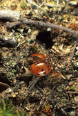 Red ant with dead ladybug