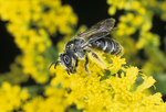 Andrenid bee on goldenrod