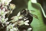 Digger bee nectaring on milkweed flower