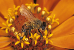 Honey bee nectaring on zinnia flower