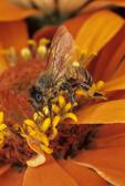 Honey bee nectaring on zinnia flower