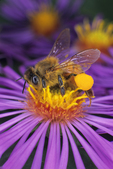 Honey bee with pollen sack on New England aster