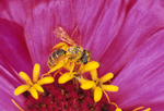 Pollen covered honey bee on zinnia flower