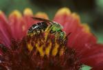 Virescent green bee on blanket flower