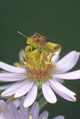 Jagged ambush bug on aster flower