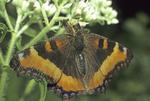 Jagged ambush bug with Milbert's tortoiseshell butterfly