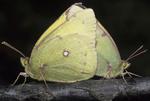 Mating common sulphur butterflies