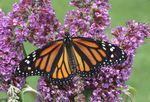 Monarch butterfly nectaring on butterfly bush