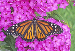 Monarch butterfly nectaring on garden phlox