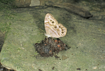 Northern pearly eye butterfly feeding on animal dropping