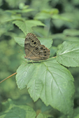 Northern pearly eye butterfly