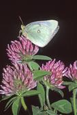 Albino orange sulphur butterfly