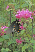Pipevine swallowtail butterfly nectaring on bee balm