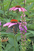 Pipevine swallowtail butterfly nectaring on blazing star
