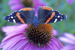 Red admiral butterfly nectaring on purple coneflower