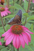 Red-spotted purple butterfly nectaring on purple coneflower